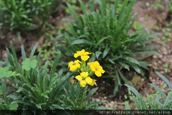 大橙黃花 (1)