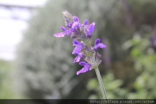 紫雲鼠尾草