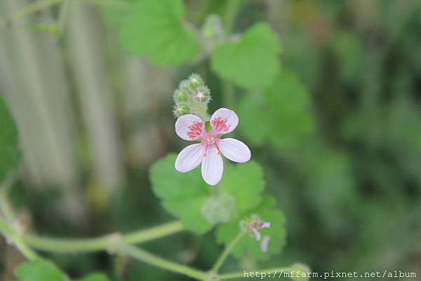 菫花天竺葵