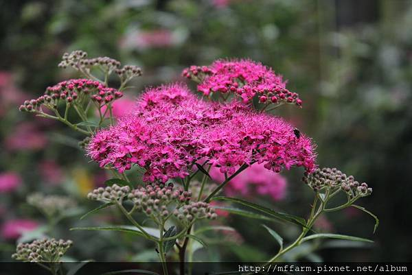 紅花繡線菊