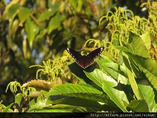 雙標紫斑蝶(斯氏紫斑蝶)