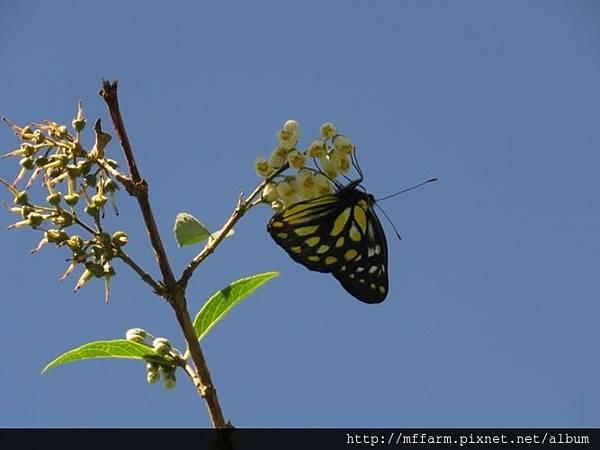 黃裙豔粉蝶(韋氏麻斑粉蝶)