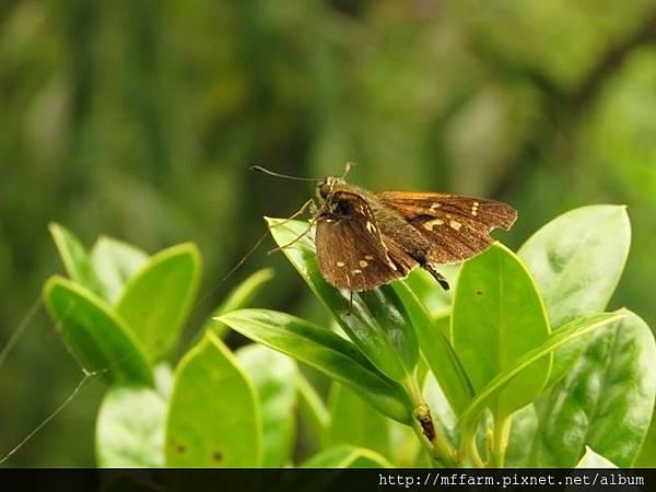 菩提赭弄蝶(雪山黃斑弄蝶)