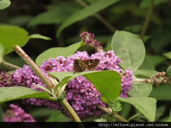 臺灣赭弄蝶(玉山黃斑弄蝶)1
