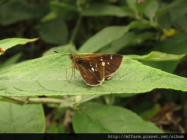 臺灣赭弄蝶(玉山黃斑弄蝶)2