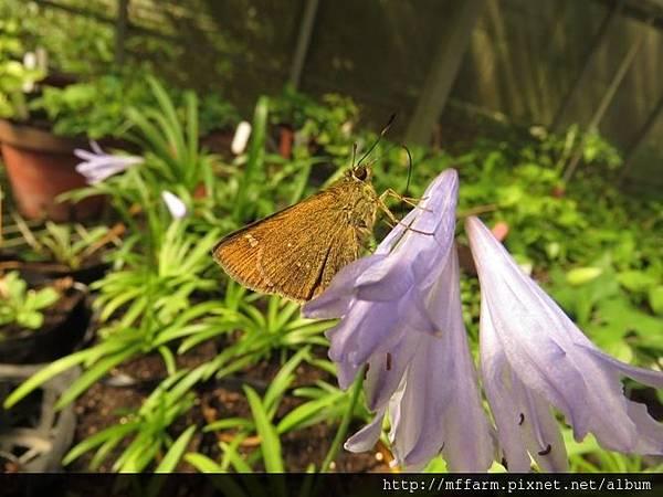 臺灣赭弄蝶(玉山黃斑弄蝶)3