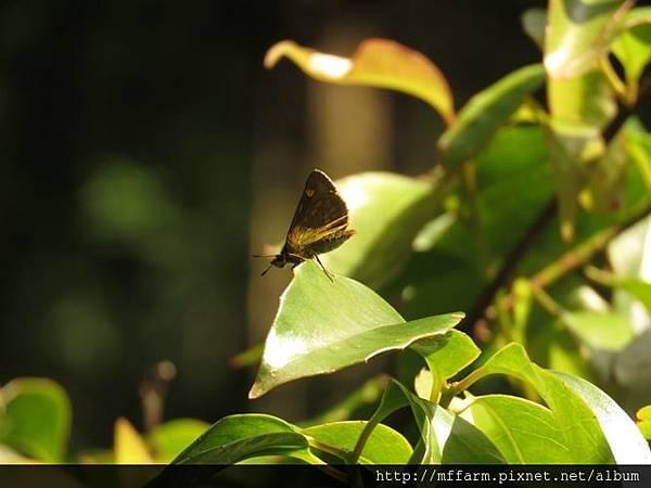 黃星弄蝶(狹翅黃星弄蝶)