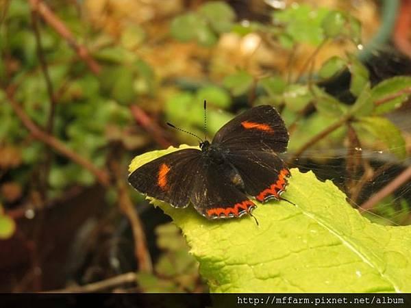 紫日灰蝶(紅邊黃小灰蝶)