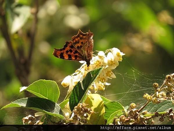 突尾鉤蛺蝶(白鐮紋蛺蝶)
