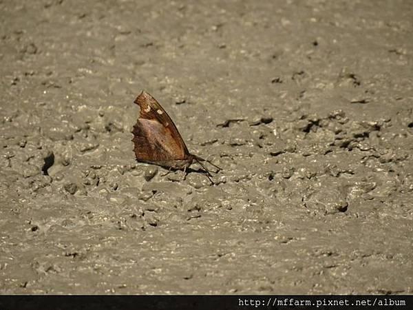 喙蝶(長鬚蝶)