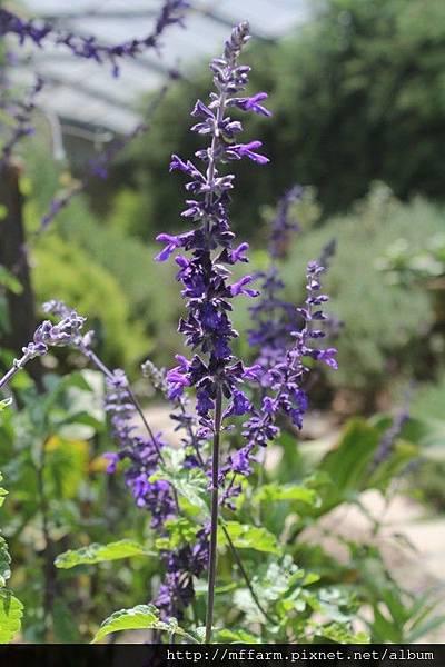 紫雲鼠尾草 (1)