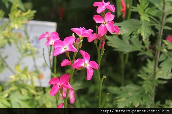 紫羅蘭 (1)