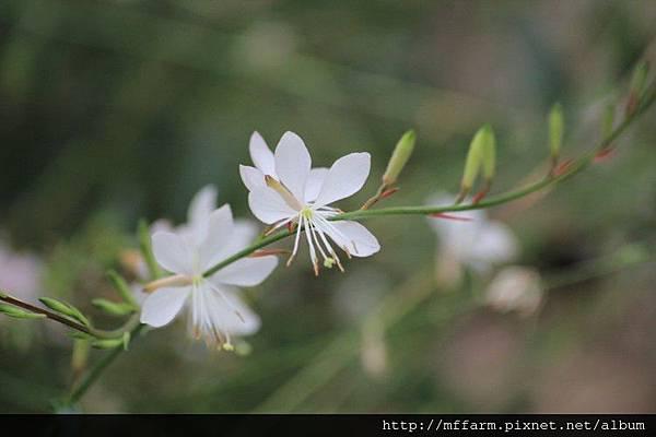 白蝶花 (1)
