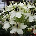 拍攝地點: 梅峰-溫帶花卉區 拍攝植物: 伯利恆之星 拍攝日期: 2017_09_04_Su