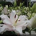 拍攝地點: 梅峰-溫帶花卉區 拍攝植物: 香水百合 拍攝日期: 2017_09_04_Su