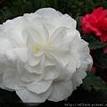 拍攝地點: 梅峰-溫帶花卉區 拍攝植物: 球根秋海棠 拍攝日期: 2017_09_04_Su