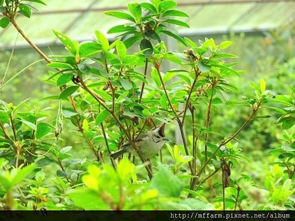 玫瑰園內叼樹枝準備築巢的冠羽畫眉