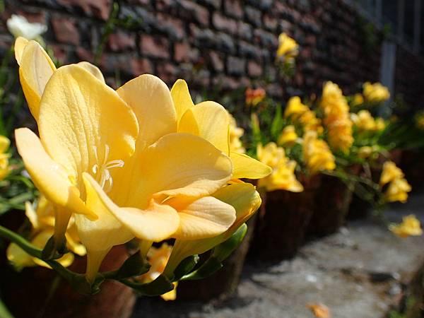 拍攝地點: 梅峰-溫帶花卉區 拍攝植物:小蒼蘭 拍攝日期: 2018_4_11_Su