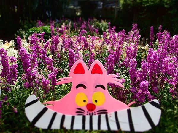 拍攝地點: 梅峰-溫帶花卉區 拍攝植物:紫羅蘭 拍攝日期: 2018_4_11_Su