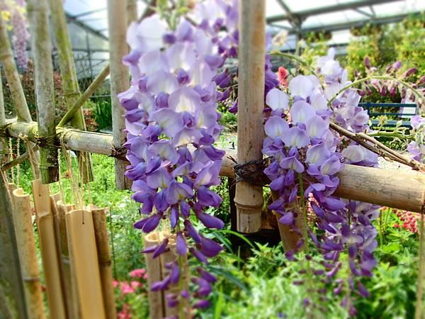 拍攝地點: 梅峰-溫帶花卉區 拍攝植物:紫藤 拍攝日期: 2018_4_11_Su