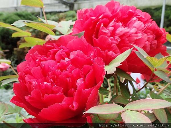 拍攝地點: 梅峰-溫帶花卉區 拍攝植物:牡丹 拍攝日期: 2018_4_16_Su
