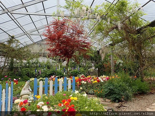 拍攝地點: 梅峰-溫帶花卉區 拍攝植物:雞爪楓 拍攝日期: 2018_4_16_Su