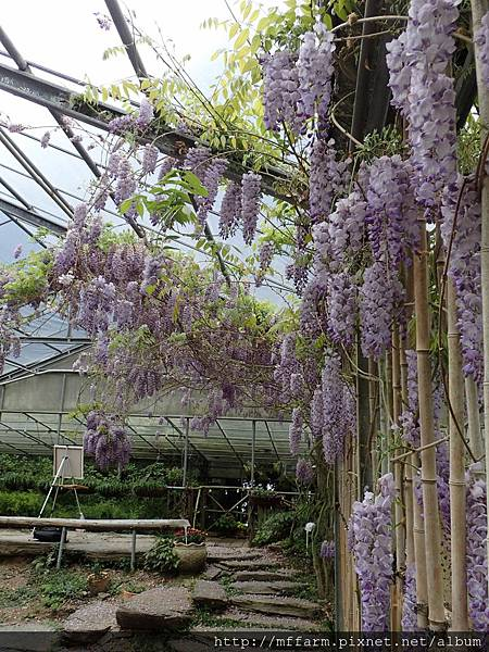 拍攝地點: 梅峰-溫帶花卉區 拍攝植物:紫藤 拍攝日期: 2018_4_16_Su
