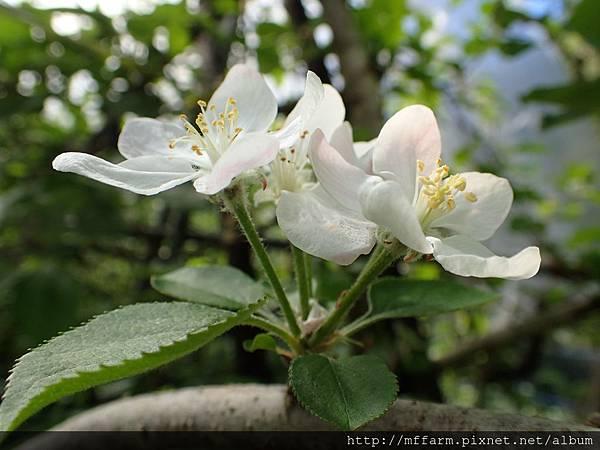 拍攝地點: 梅峰-蘋果園 拍攝植物:蘋果花 拍攝日期: 2018_5_2_Su