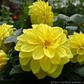 拍攝地點: 梅峰-溫帶花卉區 拍攝植物: 大理花 拍攝日期: 2018_9_11_Su