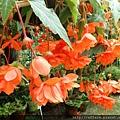 拍攝地點: 梅峰-溫帶花卉區 拍攝植物: 球根秋海棠 拍攝日期: 2018_9_11_Su