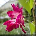 拍攝地點: 梅峰-溫帶花卉區 拍攝植物: 朝顏 拍攝日期: 2018_9_11