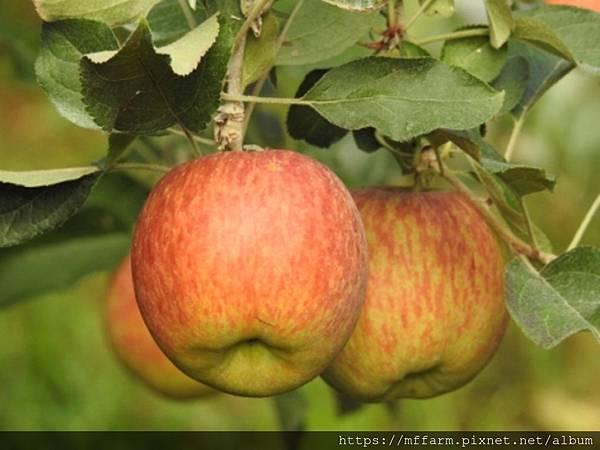 富士蘋果(李紹輔) (1)