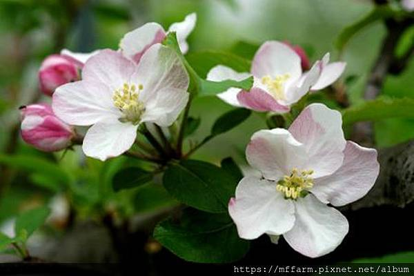 20050428003nd1蘋果花