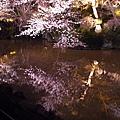 櫻花與池塘