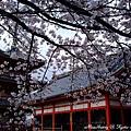 清水寺與櫻花