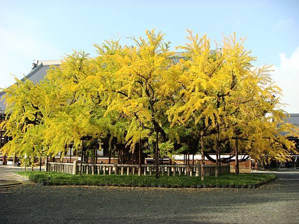 西本願寺銀杏1