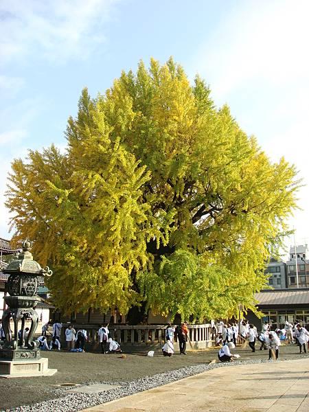 西本願寺銀杏2