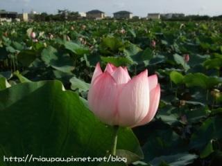 2009.07.26 新屋花海-蓮花季