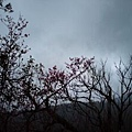 2010.02.01 陽明山山櫻花