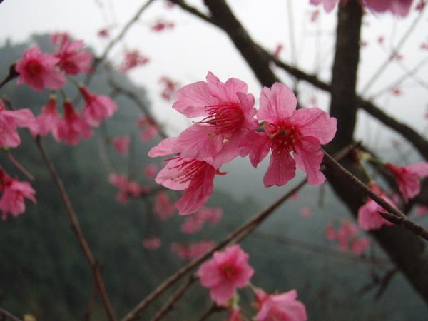 櫻花近照~