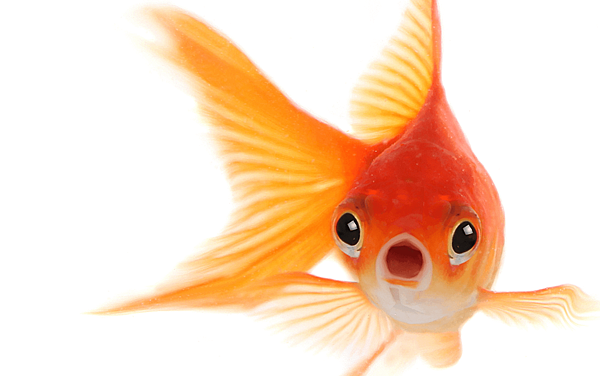 Goldfish-CROP.png
