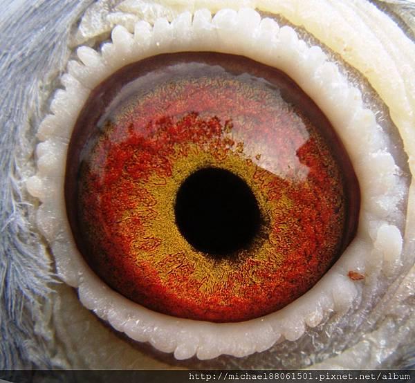 白頭西翁-1212母-眼