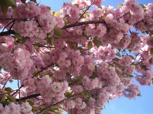 Sakura_14.jpg