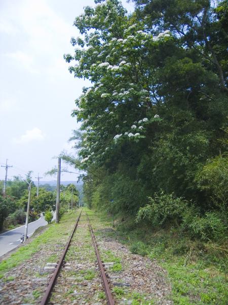 廢棄鐵道和桐花