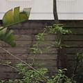 2012家裡沒人管小花園的九重葛終於又開花 (3)