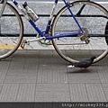 2012 725東京第一天~下午兩點從飯店出來到新宿開逛開吃~悠閒在路邊拍一堆鴿子圖 (1)