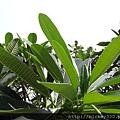 2013 新加坡 GILLMAN BARRACKS藝術特區 自然共生場面 (2)
