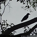 2013 新加坡 GILLMAN BARRACKS藝術特區 自然共生場面 (13)