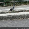 2013 新加坡 GILLMAN BARRACKS藝術特區 自然共生場面 (14)