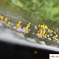 2015 5 24 大溪老茶廠 (30)